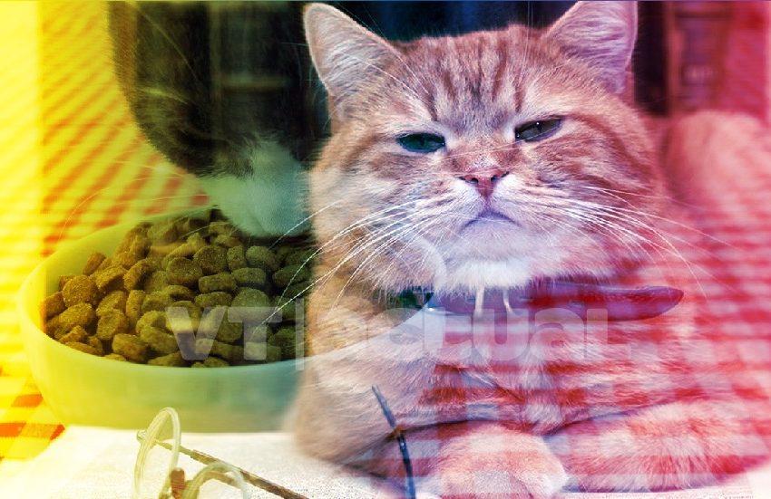 #VTmascotas ¡Ayuda! Se acabaron las croquetas y no sé qué darle a mi gato