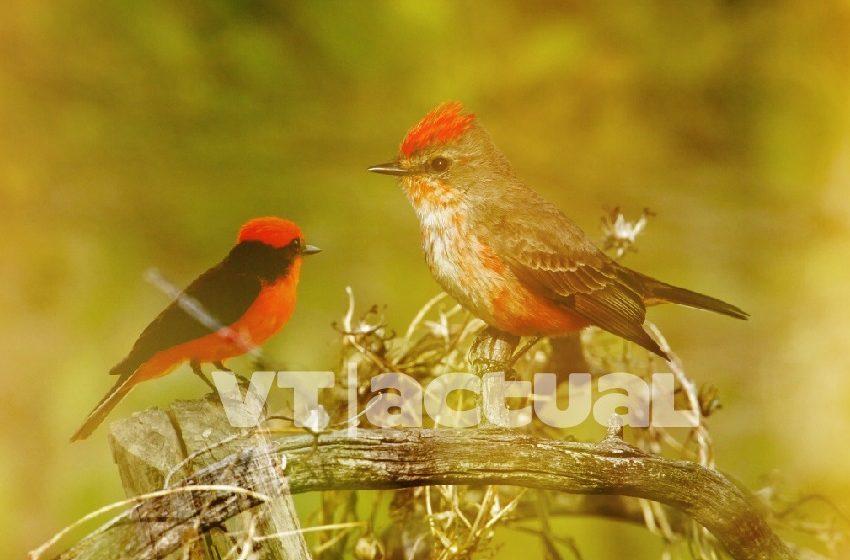 #VainaVerdeVT Reproducción en cautiverio y reforma legal para salvar al Cardenalito