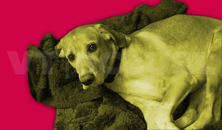 #VTmascotas Buenas razones para adoptar a un perro adulto