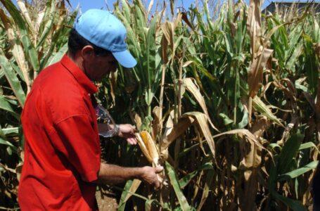 Ecologistas instan a detener el decreto que permitiría el cultivo de maíz transgénico