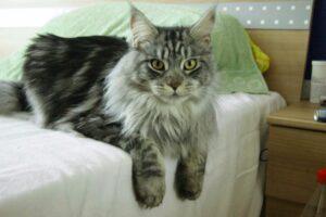 razas de gatos para niños