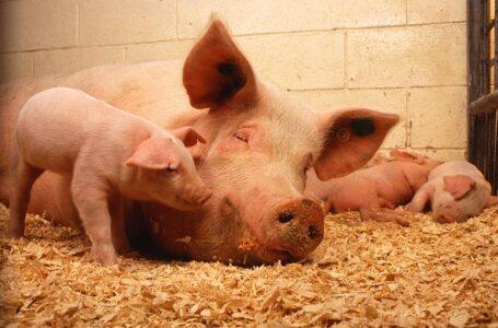 La industria porcina estadounidense vigila el brote de gripe porcina en Haití