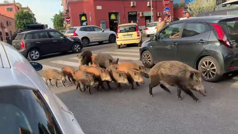 Tras la entrada de jabalíes en Roma, Italia se plantea llamar a los cazadores